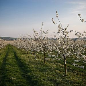 Apfelplantagen am alten Schloß
